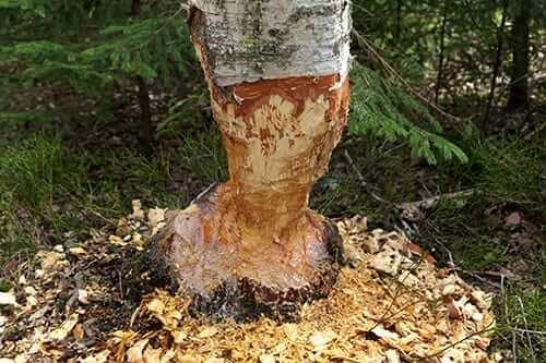 Ett träd som bävern har ätit på
