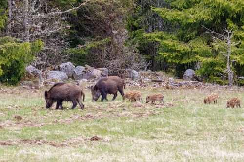 En vildsvinsfamilj