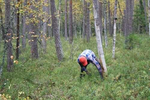 Kusinen hjälper till att ta ner ett gammalt dött träd som skymmer för skjutgatorna vid älgpasset