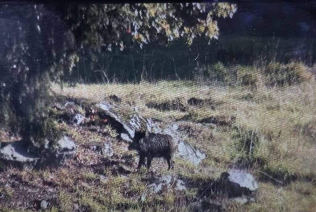 Vildsvin fångade på kameran