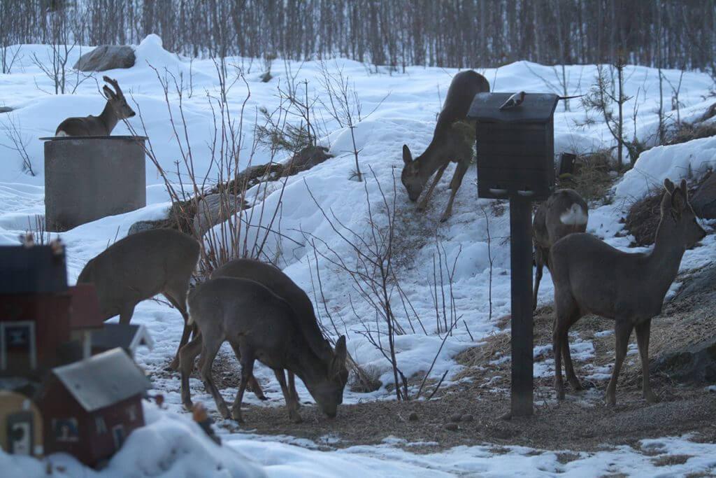 7 styckna rådjur som är ute och äter viltfoder ute på en gård