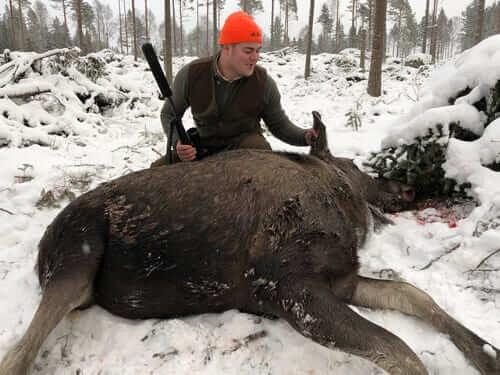 en jägare med sin fällda älgko en vinterdag